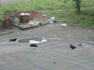 Бродячие собаки в Усть-Илимске