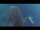 Завораживающее купание с гигантской китовой акулой