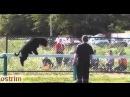 На соревнованиях большая собака смешно проходит по бревну
