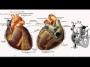 Биология в картинках: Строение сердца человека (Вып. 18)
