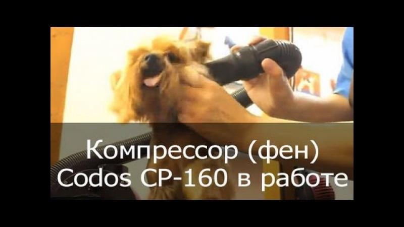 Фен (компрессор) для сушки собак Codos CP-160 сушит йорка (йоркширского терьера)