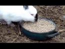 Содержание кроликов зимой в теплице без клеток, т.е.своего рода вольерное содерж...