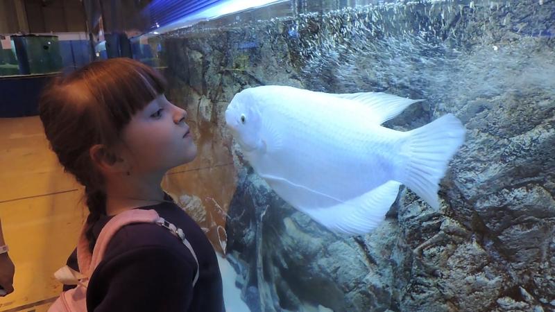 Смешная рыбка, которая любит целоваться. Прикол.