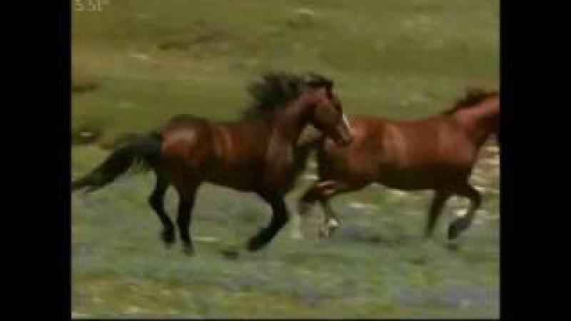 Песня коня цыганских кровей А Розенбаум