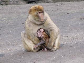 Monkeys : mother and son _le singe Magot (macaca sylvanus) Barbary macaque قرود المكاك البربري Azrou