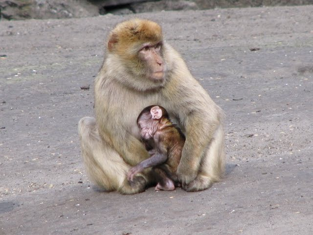 Monkeys : mother and son _le singe Magot (macaca sylvanus) Barbary macaque قرود المكاك البربري Azrou