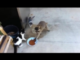 Кошки и Енот - прикол,ржака,я в шоке !!!