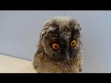 Совёнок ушастой совы