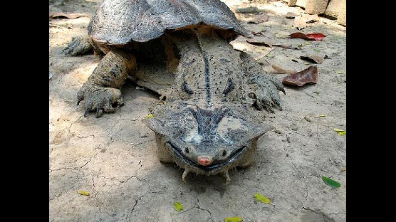 Mata mata Turtle Swallow a Big Fish