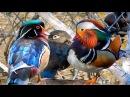 Mandarin Duck Wood Ducks in the Wild 2