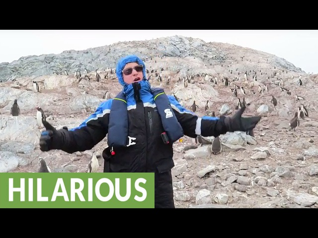 How penguins react to opera: UNBELIEVABLE!