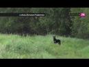 Дикие псы: на окраинах Калининграда стаи бродячих собак убивают скот и нападают на людей