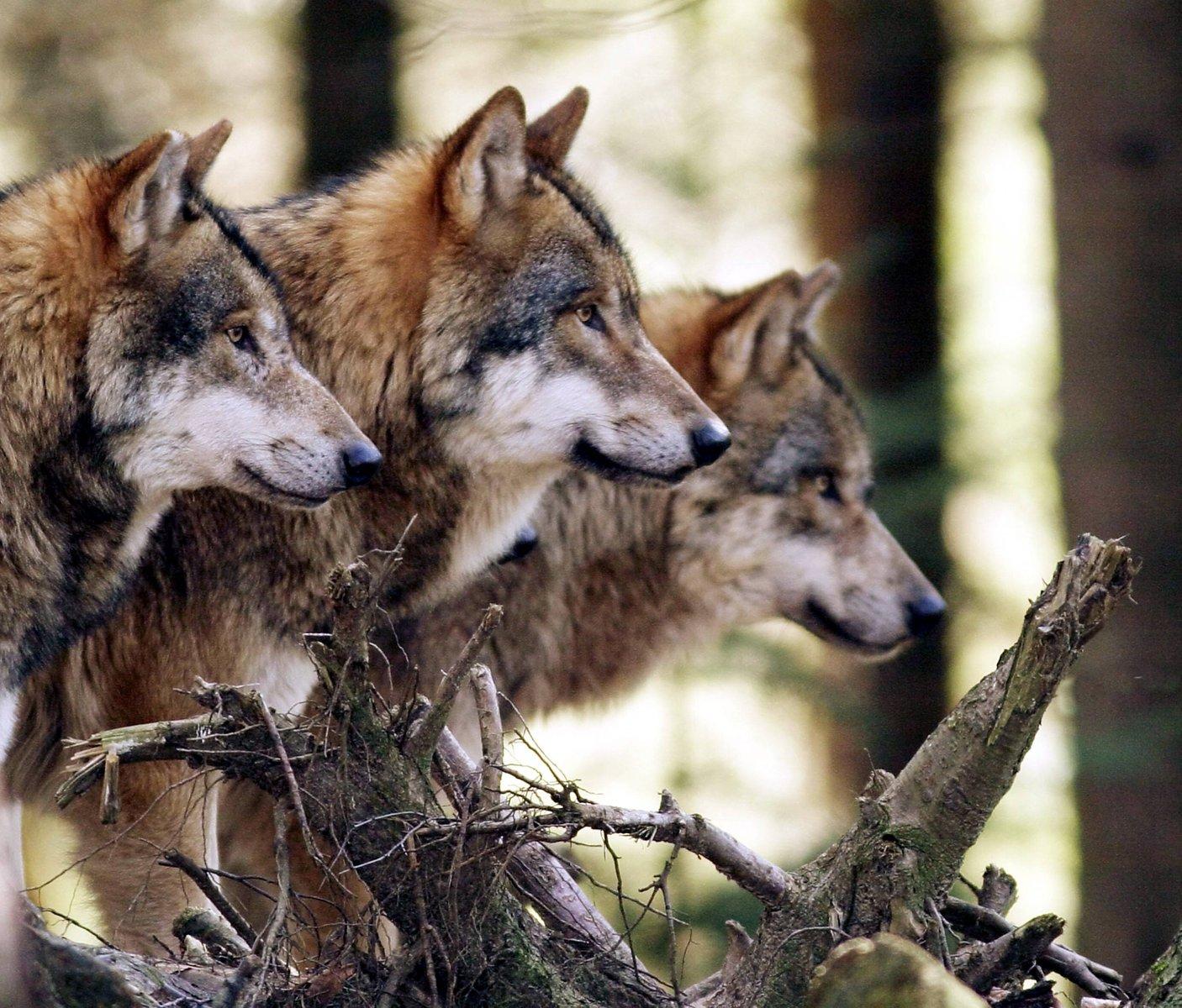 Смешные волки картинки 13 фотография
