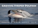 Grieving striped dolphin