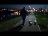 Bichons from the kennel DaVita's Heart. One evening walk. May 2016. Part 2.