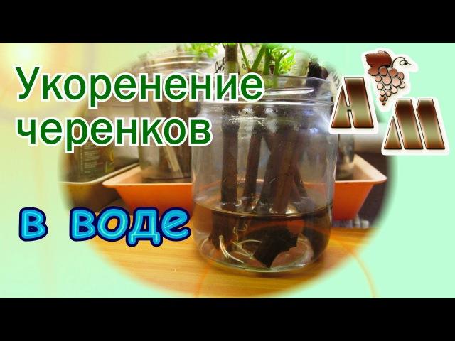 🍇 Укоренение черенков винограда - 3. Укоренение в воде