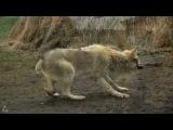 New! Валерий Козьмин - Волчица Шансон 2016