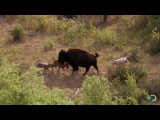 Bison and Her Calf Battle Wolves North America