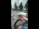 Борзые-наглые голуби!)