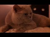 Наши беседы с котом британским говорящим.