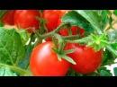 Некоторые секреты и советы в выращивании рассады помидоров (томатов).