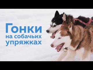 Гонки на собачьих упряжках. Суздальский луг. 200 собак, 140 участников, 25 городов. Все это гонки на собачьих упряжках.