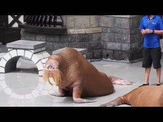 Моржи целуются