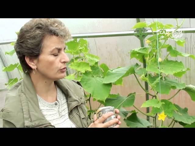 Защита растений в теплице от насекомых вредителей Табачная дымовая шашка Гефест2