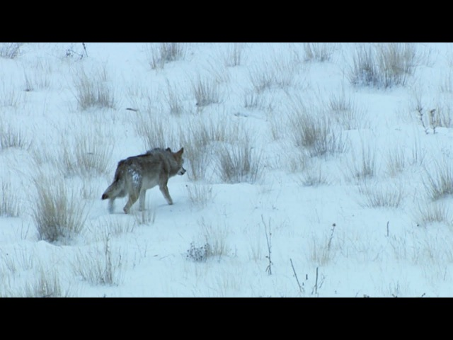 A Wolf (Not) in Sheep's Clothing | Wild Turkey