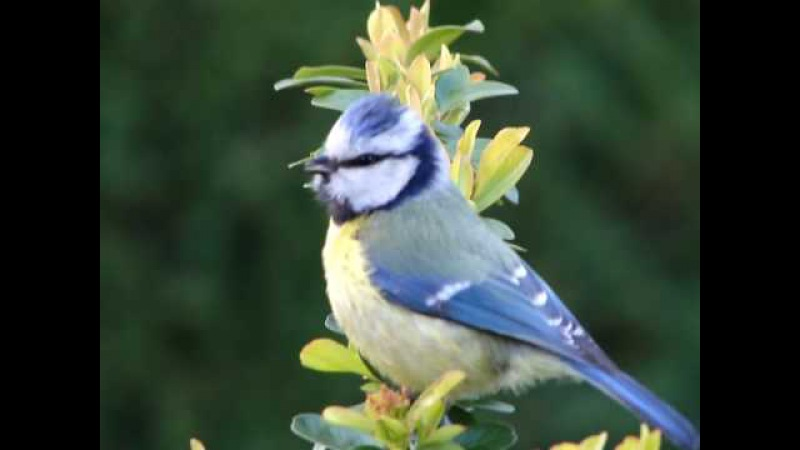 Blue Tit Singing