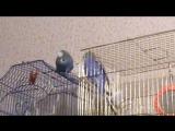 Говорящий попугай. Гриша пытается общаться с Птицей=)) Видео нужно сделать погромче,угу