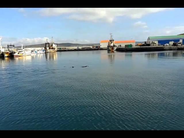 Касатки зашли в гавань Северо-Курильска . 2016 год .