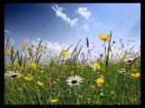 Люблю я цветы полевые - Вадим Козин