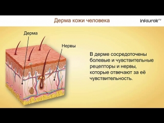 Наружные покровы тела. Строение и функции кожи