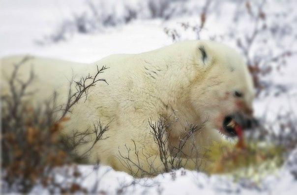 В Архангельской области завершена проверка по поводу гибели рабочего от лап белых медведей