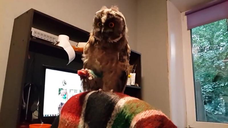 Ушастый совёнок Чуфырька прилетел за едой