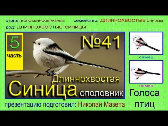 Синица длиннохвостая ОПОЛОВНИК. Голоса птиц