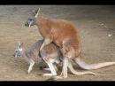 Секс Животных - Большая Подборка! Смешные Животные Спариваются!