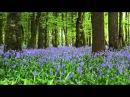 Bluebell Woods Birdsong
