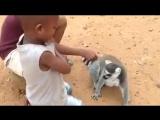 Лемур просит почесать ему спину. Мадагаскар
