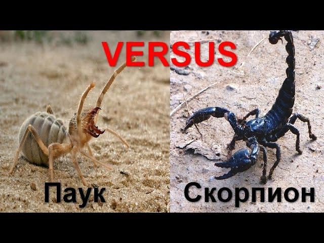 VERSUS. Паук против Скорпиона, кто сильнее?