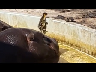 Hippos Help Lost Duckling Get Out Of Pond And Find His Mommy
