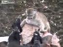 Горный лев против собак. Лучшие бои животных. Жизнь в дикой природе