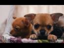 Чихуахуа ➠ Узнайте все о породе собаки