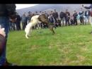 Собачьи бои канарский дог микс vs волкодав