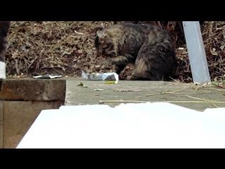 Дикий  кот ест  творожок,как аристократ))))
