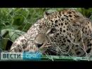 В Сочи человек зашёл в клетку к диким леопардам