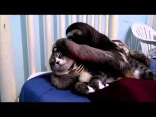 Ленивец и кот  Странная любовь