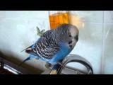 Говорящий попугай КЕША. Самые лучшие приколы с животными  Только новое и интересное!