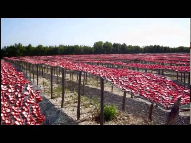 Nel cuore del Pomodoro. La produzione dei pomodorini essiccati sottolio Pugliese.